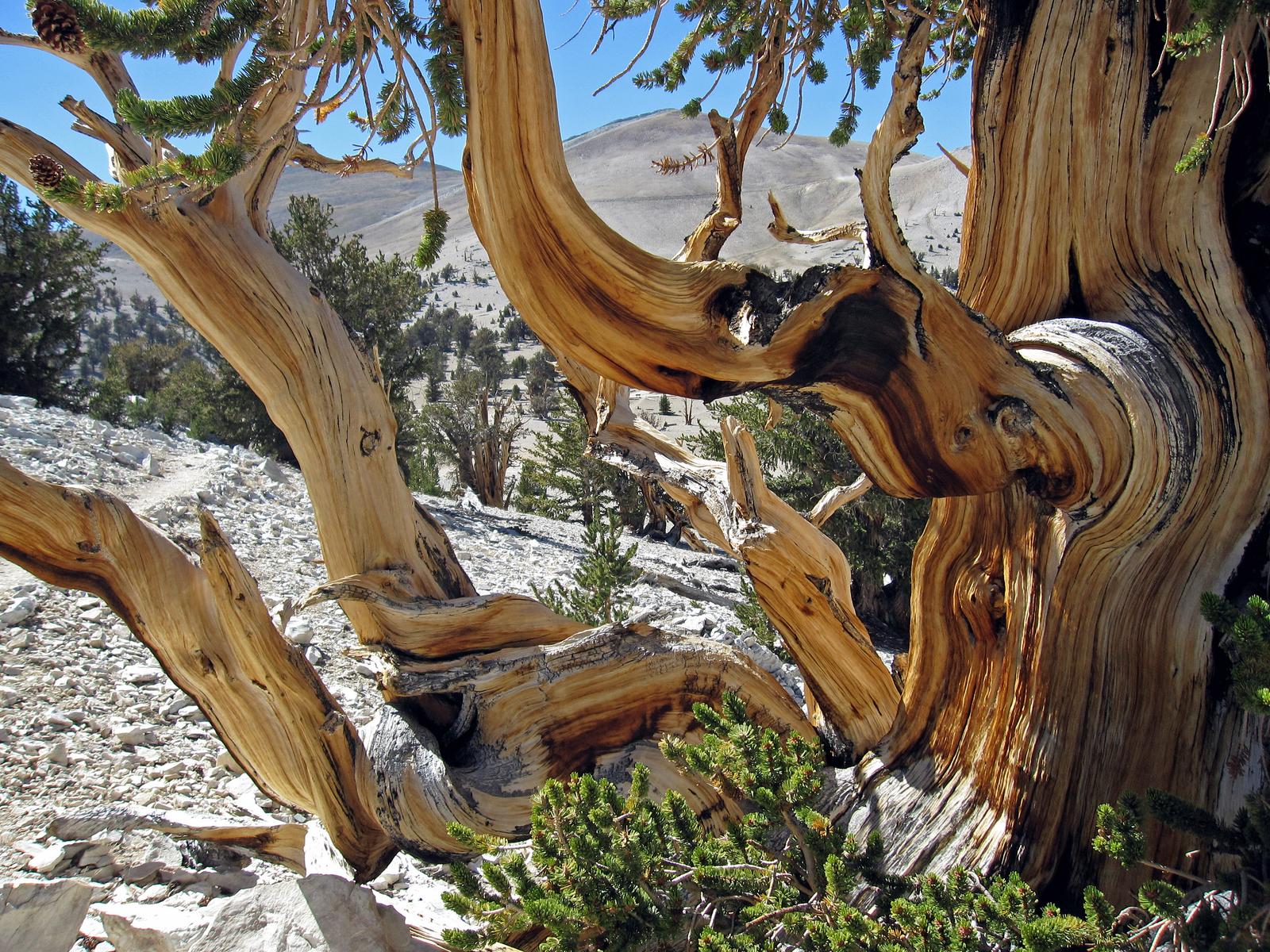 White Mountains, eastern California