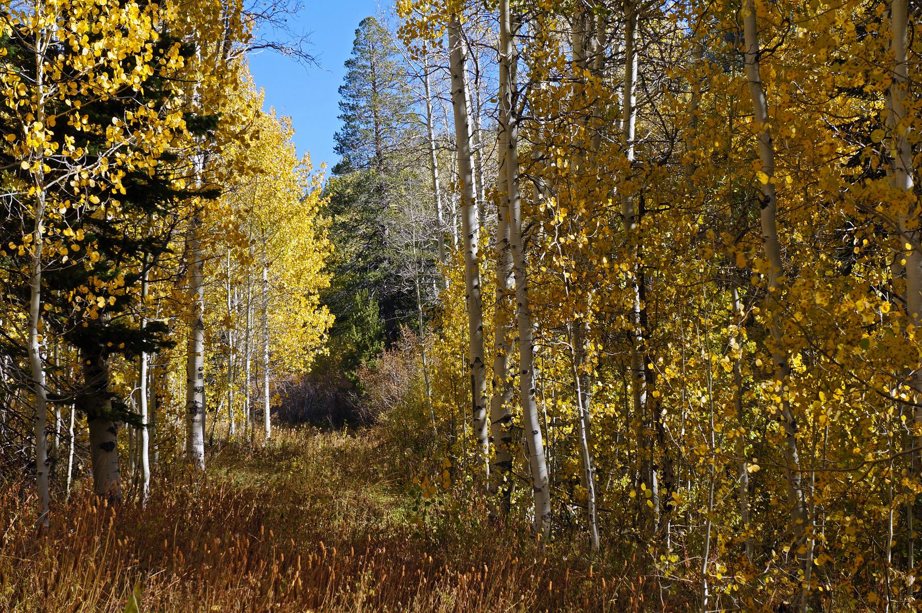 amidst golden aspen, hiking toward Marlette Lake, east of Lake Tahoe, Nevada